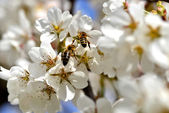 Cherry-blossom honey bee collects — Stock Photo