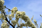 Opened the pear blossom in spring — Stock Photo