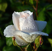 White roses with water drops — Stock Photo