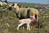 Sheep giving birth in rural areas — Foto Stock