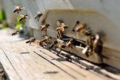 Vida de las abejas. reproducción de las abejas — Foto de Stock
