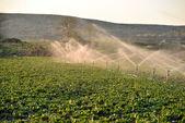 Sprinkler watering crops in field — Stock Photo