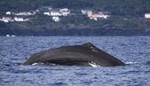 Whale watching Azores islands 04 — Stock Photo