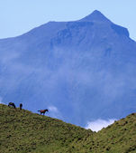 Horses in front of Volcano Mount Pico at Pico island, Azores — Stock Photo