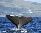 Sperm whale - Pico island, Azores — Stock Photo