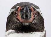Close-up view of a Humboldt Penguin — Zdjęcie stockowe