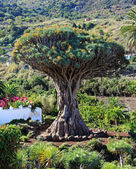 Dragon Tree at Tenerife, Canary Islands — Stock fotografie