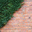 Brick wall with ivy plant as background — Stock Photo #21893181