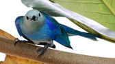 Close-up of a Blue-grey Tanager, Trinidad — Stock Photo