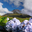 Hydrangeas in front of volcano Pico - Pico island, Azores Islands - Stock Photo