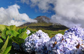 Hydrangeas in front of volcano Pico - Pico island, Azores Islands — Stock fotografie