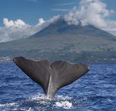 Stor fin av en kaskelot framför vulkanen pico, azorerna — Stockfoto