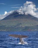 Kaskelot framför vulkanen pico, azorerna — Stockfoto