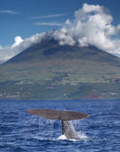 Sperm whale in front of volcano Pico, Azores islands — Stockfoto