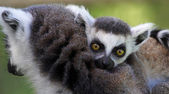 Close-up view of a Young Ring-tailed lemur (Lemur catta) — Stock Photo