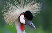 Close-up view of a Black Crowned Crane — Stock Photo
