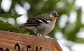 Male of a Madeiran Chaffinch — Foto de Stock