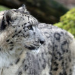 Stock Photo: Close-up view of Snow leopard