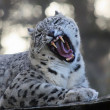 Roaring Snow leopard — Stock Photo