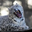 Stock Photo: Roaring Snow leopard