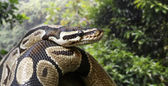 Close-up view of a royal python — Foto de Stock