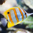 Close-up view of a Butterflyfish, Copperband butterflyfish — Stock Photo