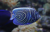 Close-up view of a Juvenile Emperor angelfish — Stock Photo