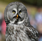 Portrait view of a Great Grey Owl — Stok fotoğraf