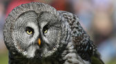 Close-up view of a Great Grey Owl — Foto de Stock