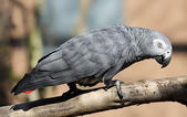 Close-up view of an African grey parrot — Stock Photo