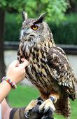 Hand owl — Stock Photo