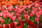 Holland tulip fields — Stock Photo