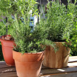 Rosemary in the pot — Stock Photo