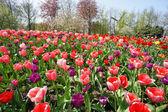 Holandsko mlýny a oblast tulipány — Stock fotografie