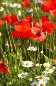Red poppy field — Stock Photo
