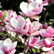 Magnolia spring trees in bloom — Stock Photo