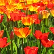 Lot of beautiful vivid tulips in the park Keukenhof — Stock Photo