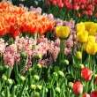 Lot of beautiful vivid tulips in the park Keukenhof, — Stock Photo