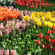 Stock Photo: Lot of beautiful vivid tulips in park Keukenhof