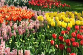 Lot of beautiful vivid tulips in the park Keukenhof — Stockfoto