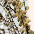 Spring willow branch with pussy — Stock Photo