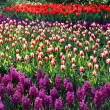 Big mix of Holland tulips and spring hyacinths — Stock Photo #39327787