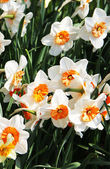 Beautiful carpet of white narcissuses — Stock Photo