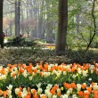 Mix of Holland white and orange tulips — Stock Photo #40097871