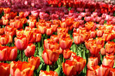 Mix of Holland tulips and narcissuses — Stock Photo