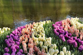 Mix of Holland hyacinths and pond — Stock Photo