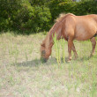 Assateague Island Wild Horse Eating Grass - Stock Photo