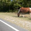 Assateague Island Wild Horse - Stock Photo