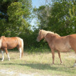 Two Assateague Island Wild Horses - Stock Photo