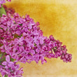 Lilacs — Stock Photo #12318382